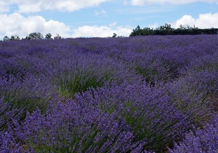cropped-cropped-cropped-cropped-Lavendelfeld1.jpg